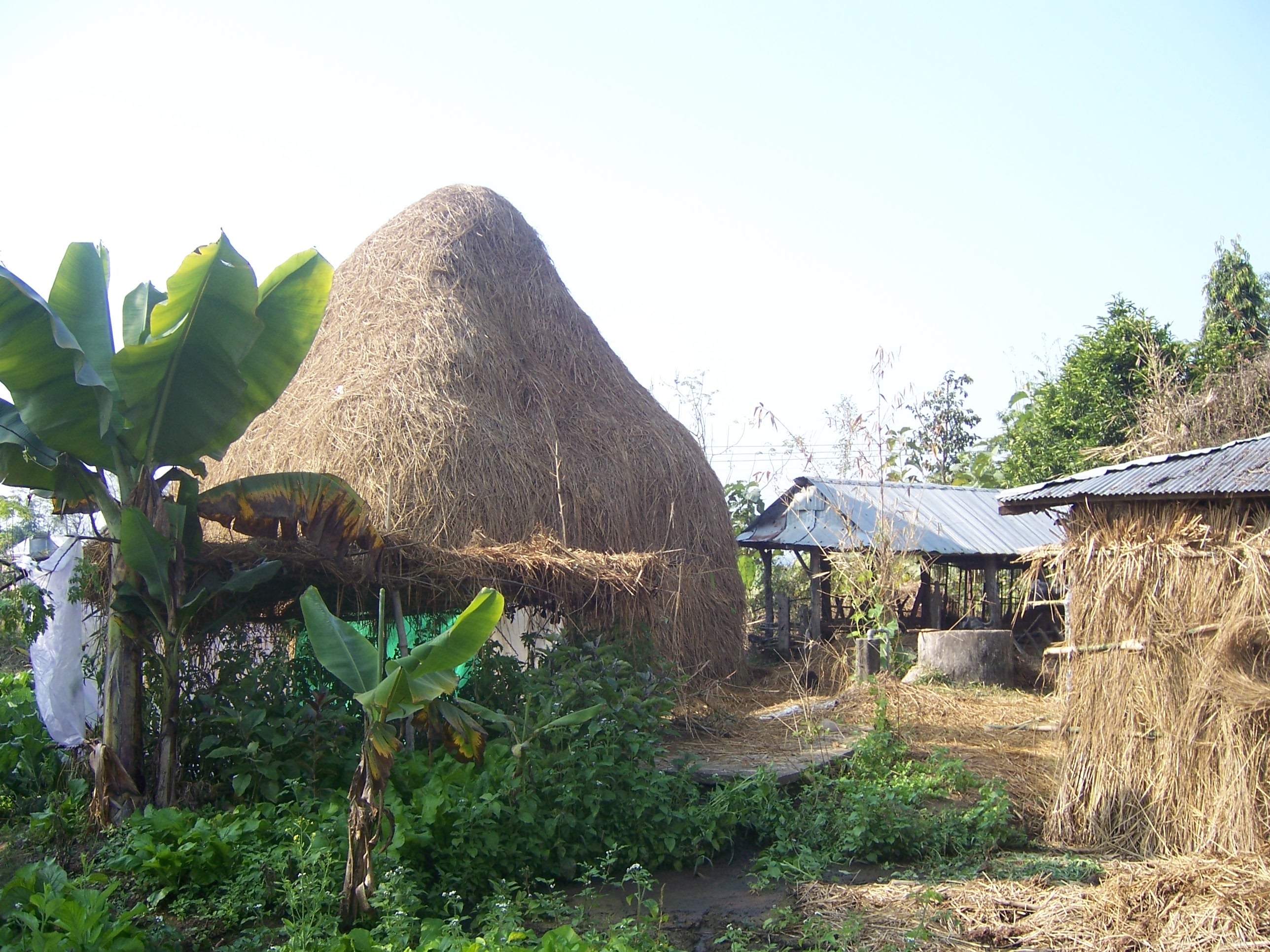 Rice straw to feed cattle and buffaloes